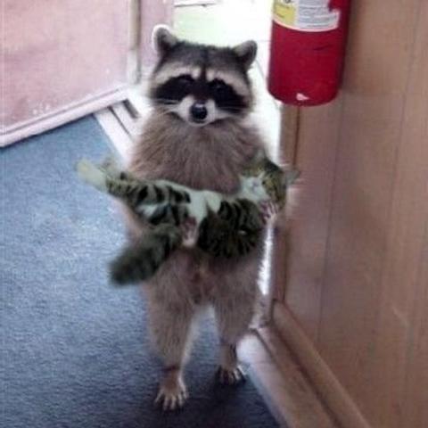 raccoon-cat.jpg
