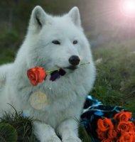 Белый волк.jpg